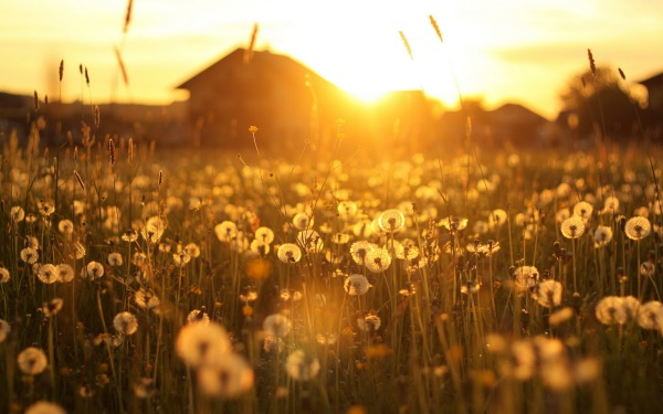 dandelion_field_sunset